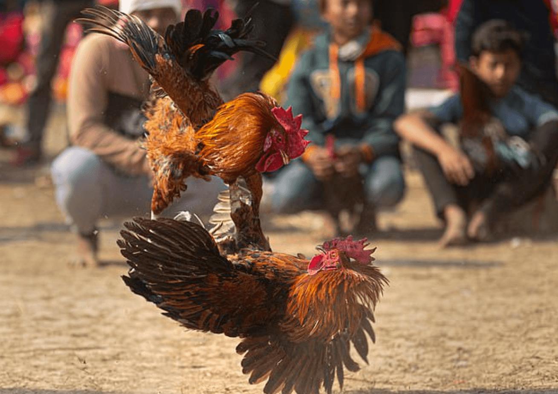 Agen SV388 Sabung Ayam Paling Aman