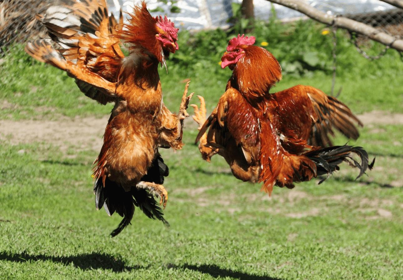 Agen Sabung Ayam s128 Online Terbaik dan Terpercaya(1)